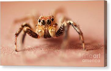 Jumping Spider Canvas Print by Venura Herath