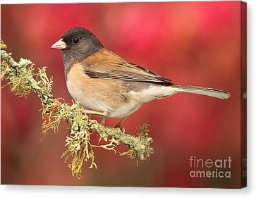 Junco Against Peach Blossoms Canvas Print by Max Allen
