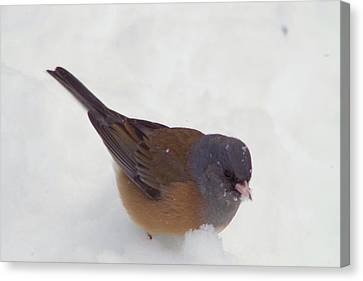 Junco In The Snow Canvas Print by Jeff Swan