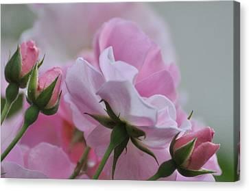 June Roses 1 Canvas Print
