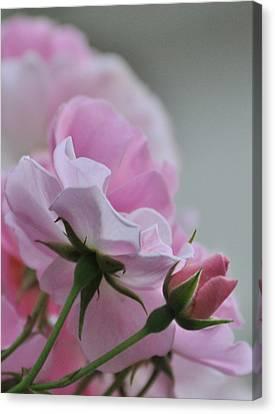 June Roses 2 Canvas Print