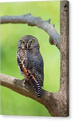 Jungle Owlet Glaucidium Radiatum Canvas Print