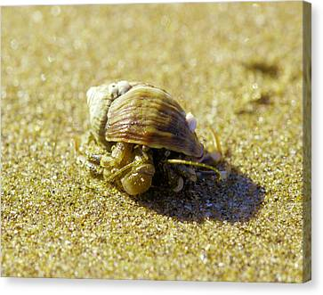 Just A Little Crabby Canvas Print by Jeff Swan
