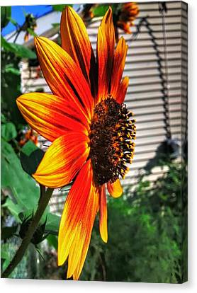 Just Another Sunflower Canvas Print by Dustin Soph