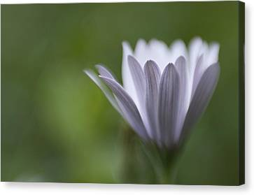 Just Because Canvas Print by Kevin Bergen