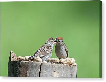 Just Because Out Of Nest Doesn't Mean Feeding Time Stops Canvas Print by Dan Friend