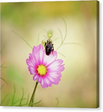 Just Bee Cosmos Canvas Print by MTBobbins Photography