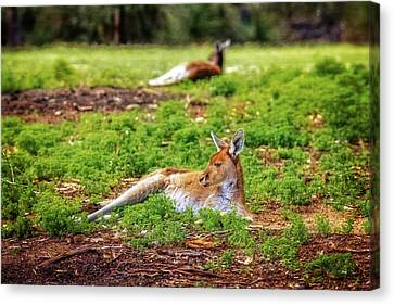 Canvas Print featuring the photograph Just Chillin, Yanchep National Park by Dave Catley