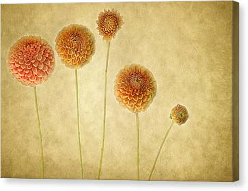 Just Dahlia-ing Around Canvas Print by Rebecca Cozart