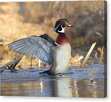 Just Flappin' Around Canvas Print by Gerry Sibell