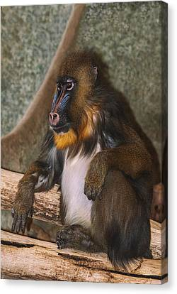 Mandrill Canvas Print - Just Giving Thought As To What If by Jack Zulli
