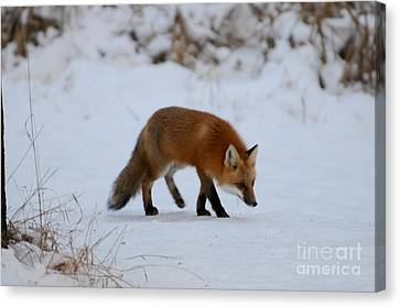 Just Hunting For Breakfast Canvas Print