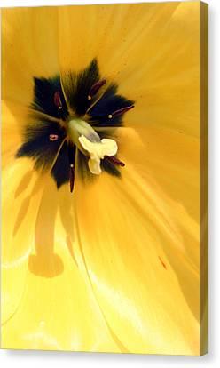 Just Tulip Canvas Print
