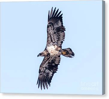 Canvas Print featuring the photograph Juvenile Bald Eagle 2017 by Ricky L Jones