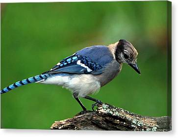 Juvenile Blue Jay  Canvas Print