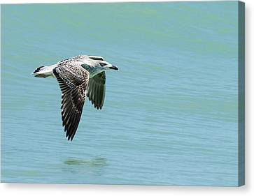 Juvenile Great Black-backed Gull In Flight Canvas Print by Dawn Currie