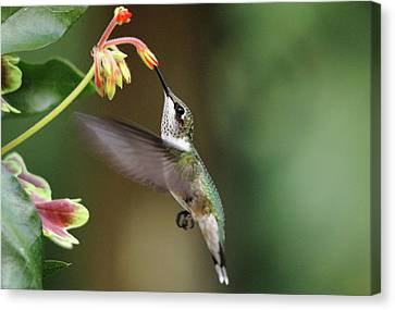 Juvenile Male Ruby Throat Canvas Print by Debbie Oppermann