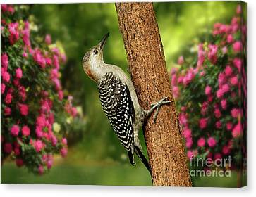 Canvas Print featuring the photograph Juvenile Red Bellied Woodpecker by Darren Fisher