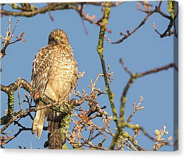 Juvenile Red-shouldered Hawk Canvas Print by Loree Johnson