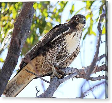 Bif Canvas Print - Juvenile Red Tailed Hawk by Wingsdomain Art and Photography