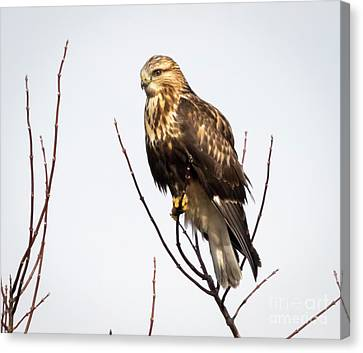 Juvenile Rough-legged Hawk  Canvas Print by Ricky L Jones