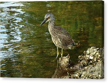 Juvenile Wall Decor Canvas Print - Juvenile Yellow Crowned Night Heron by Christiane Schulze Art And Photography