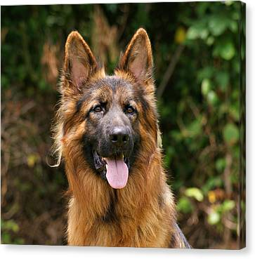 Kaiser - German Shepherd Canvas Print