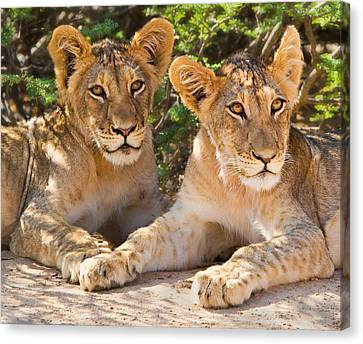 Kalahari Lion Cubs Canvas Print by Basie Van Zyl