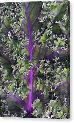 Kale Redbor Leaf Canvas Print by Tim Gainey