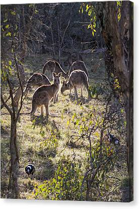 Kangaroos And Magpies - Canberra - Australia Canvas Print