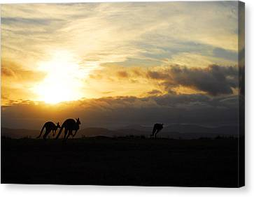 Kangaroos And Sunset Canvas Print by Michael Warford