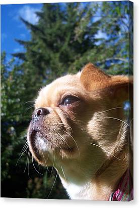 Karma The Pug Chihuahua Canvas Print by Ken Day