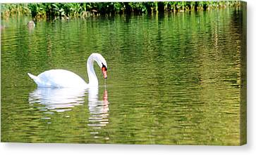 Katie The Mute Swan Canvas Print by Lorri Crossno