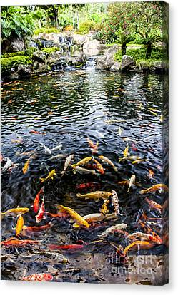 Coy Canvas Print - Kauai Koi Pond by Darcy Michaelchuk