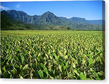 Kauai, Wet Taro Farm Canvas Print by Himani - Printscapes