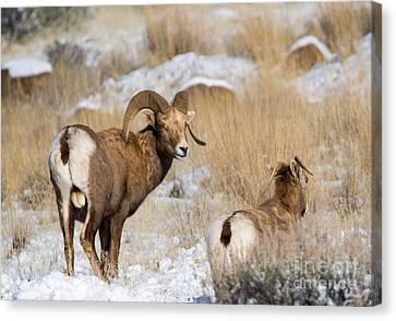 Bighorn Sheep Canvas Print - Keeping Watch by Mike Dawson