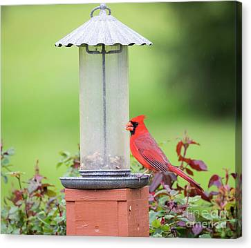 Canvas Print featuring the photograph Kentucky Cardinal  by Ricky L Jones