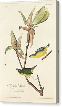 Kentucky Warbler Canvas Print by Anton Oreshkin
