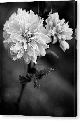 Kerria In Black And White Canvas Print by Chrystal Mimbs