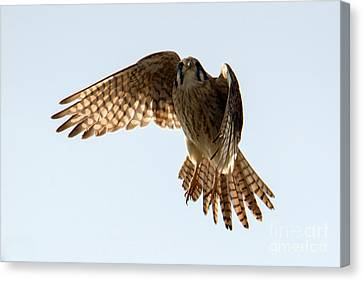 Canvas Print featuring the photograph Kestrel Hover by Mike Dawson