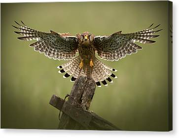 Brown Color Canvas Print - Kestrel On Final Approach by Andy Astbury