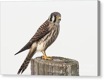 Canvas Print featuring the photograph Kestrel Portrait by Robert Frederick