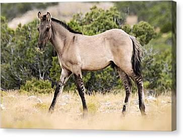Bighorn Canyon National Recreation Area Canvas Print - Kiger Colt by Larry Ricker