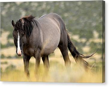 Bighorn Canyon National Recreation Area Canvas Print - Kiger Stallion by Larry Ricker