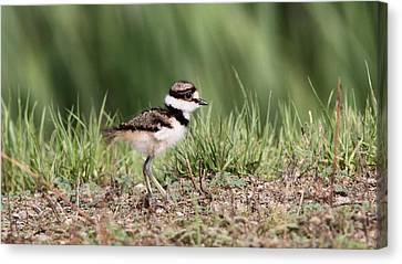 Killdeer - 24 Hours Old Canvas Print
