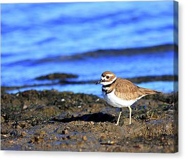 Killdeer . 40d4101 Canvas Print by Wingsdomain Art and Photography