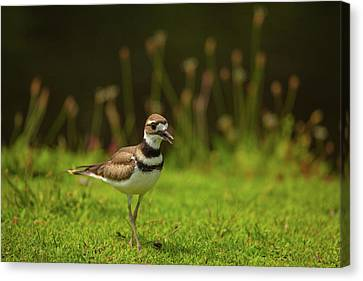 Killdeer Canvas Print by Karol Livote