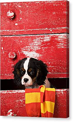 King Charles Cavalier Puppy  Canvas Print by Garry Gay