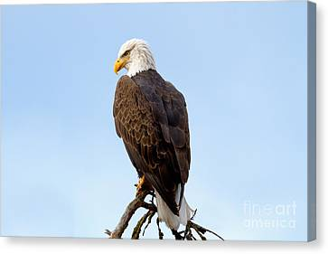 King Of Birds Canvas Print by Beve Brown-Clark Photography