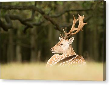 King Of The Forest _ Fallow Deer Buck Canvas Print by Roeselien Raimond